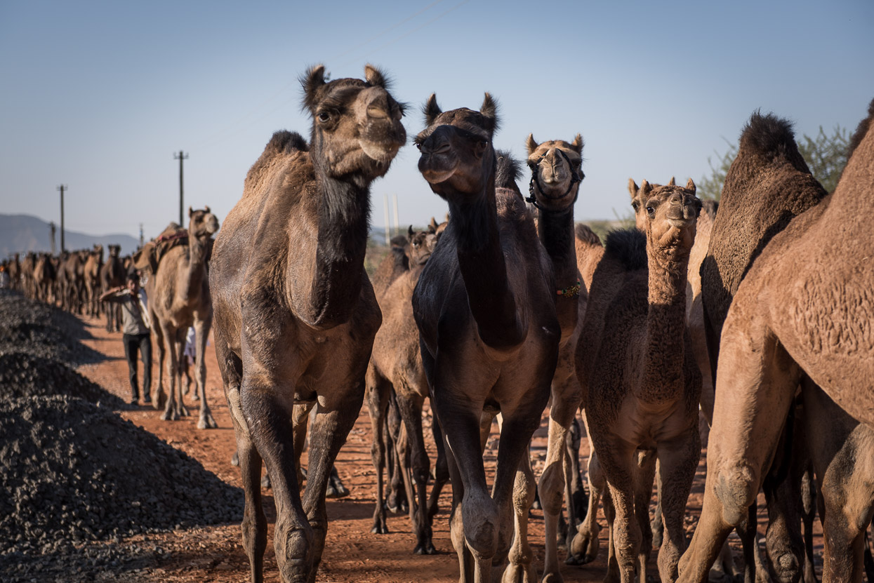 Camel love affair