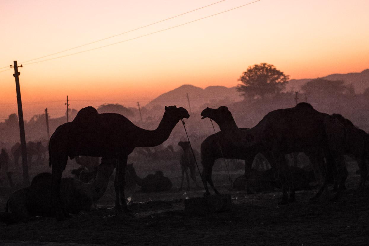 pushkar camel love affair