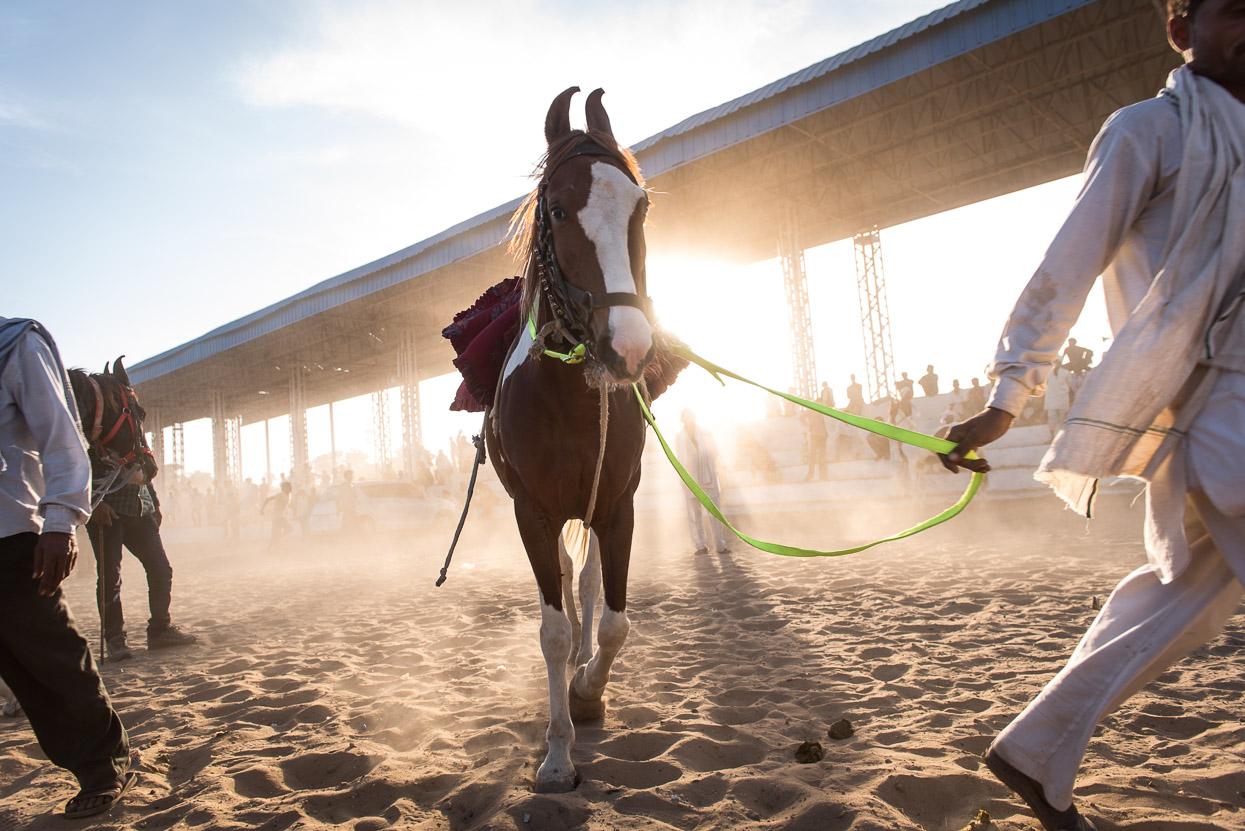 horse in arena pushkar camel fair