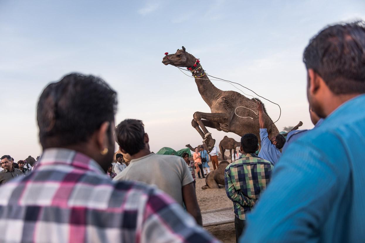 Camel Dankce Pushkar