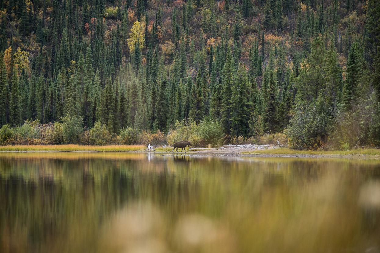 young moose bull at Quiet lake, yukon