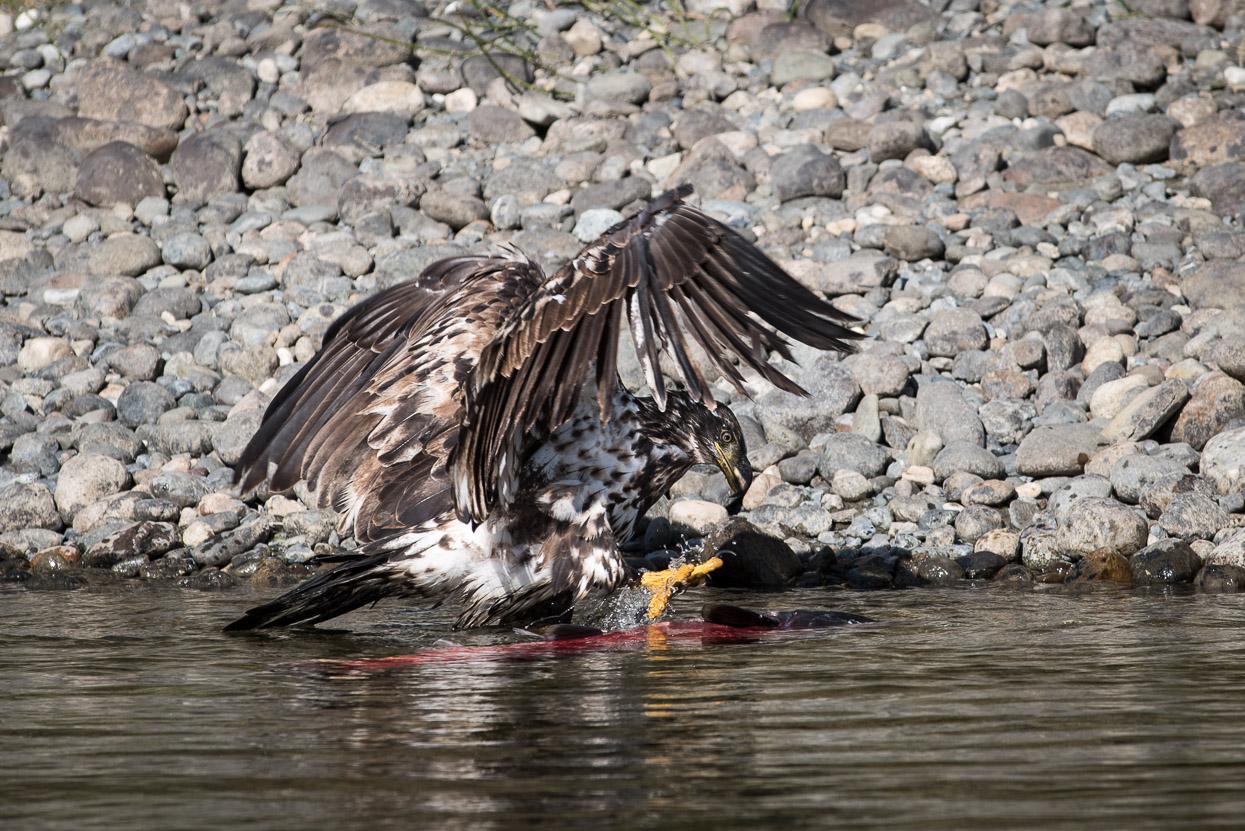 Eagle feeding on a salmon at Yukon River