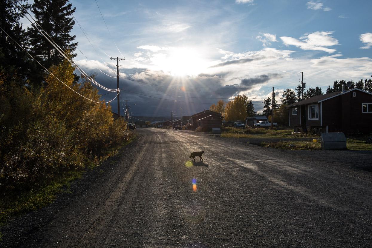 Cat crossing road in Teslin, Yukon