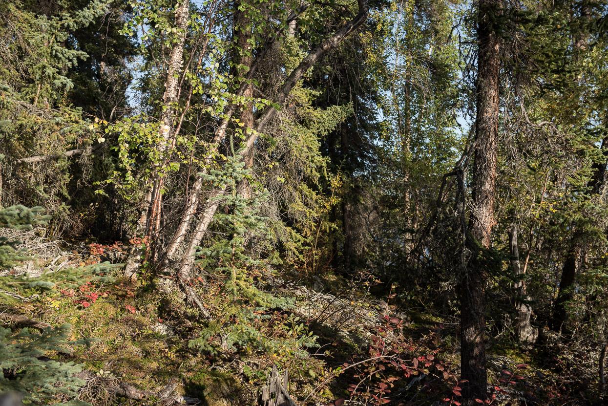 forest at big salmon lake, yukon